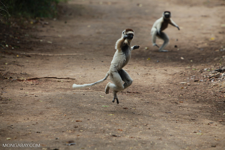 Verreaux's Sifaka (Propithecus verreauxi) in a heated chase [madagascar_2901]