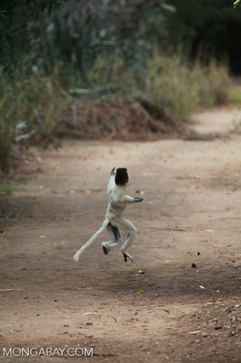 Verreaux's Sifaka (Propithecus verreauxi) in a territorial chase [madagascar_2909]
