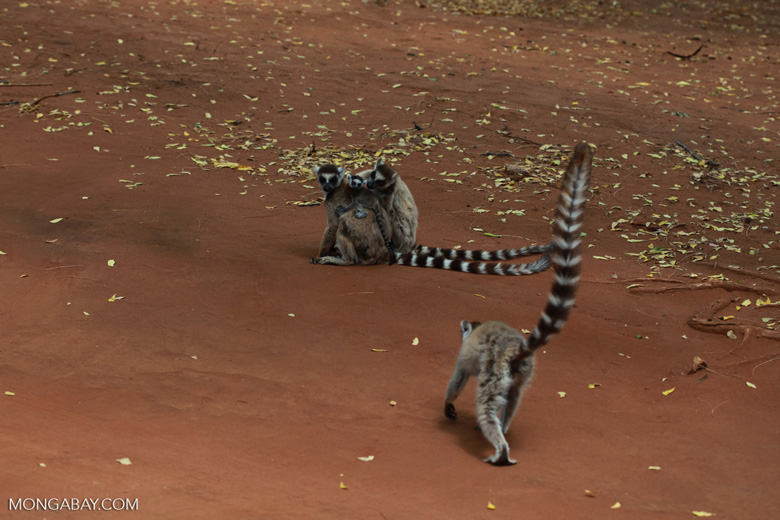 Ringtails grooming [madagascar_2953]
