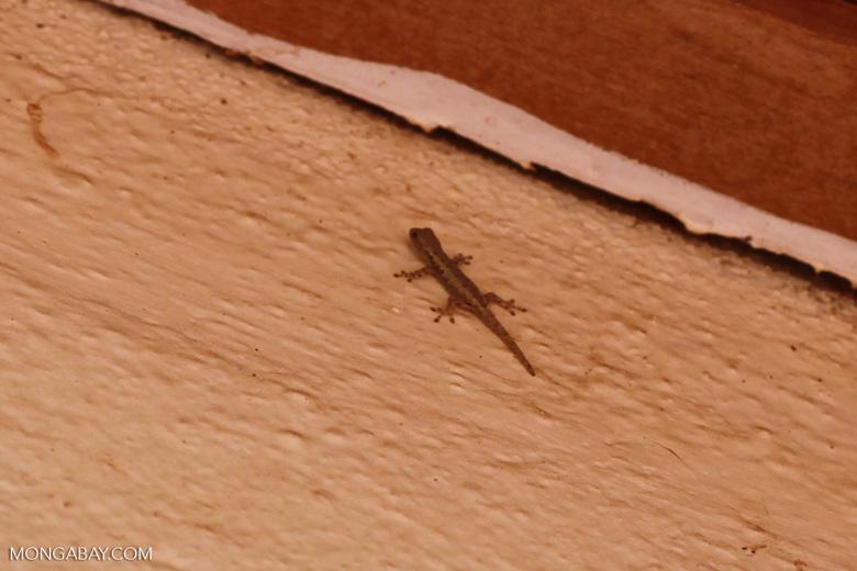 House gecko (Hemidactylus frenatus) in Madagascar