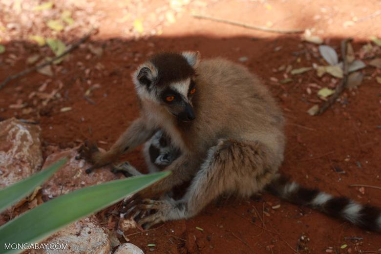 Mother ring-tailed lemur nursing her baby