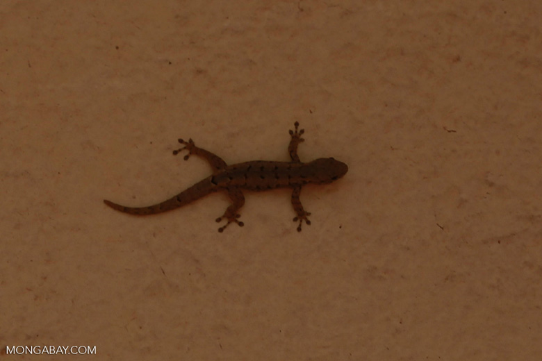 House gecko (Hemidactylus frenatus) in Madagascar [madagascar_2977]