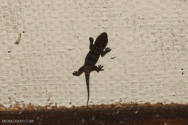 Golden Fish-scaled Gecko (Geckolepis maculata)