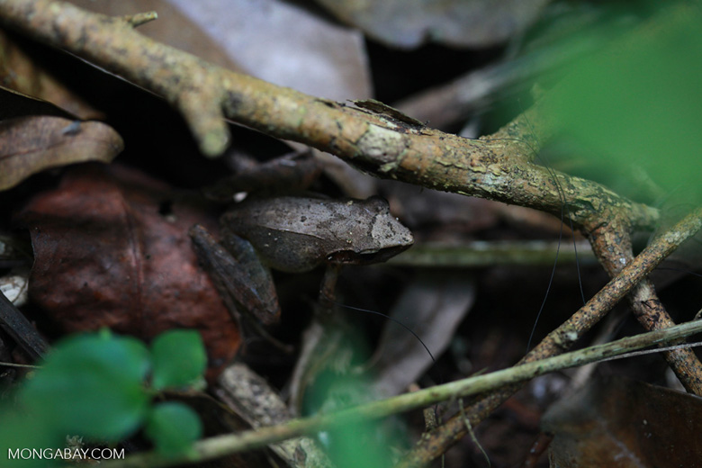 Frog [madagascar_3296]