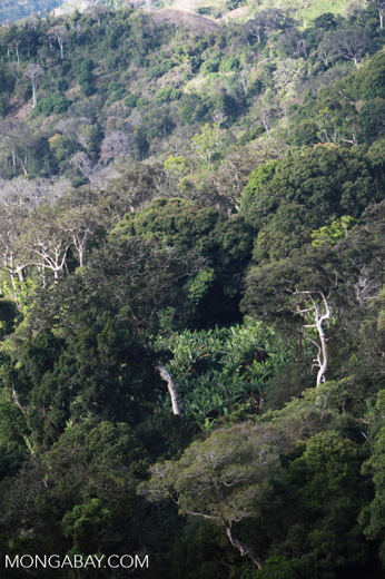 Unauthorized banana plantation in a forest reserve