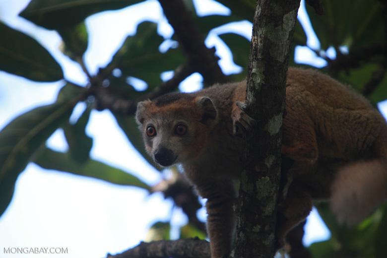 Male Crowned lemur (Eulemur coronatus) [madagascar_3356]