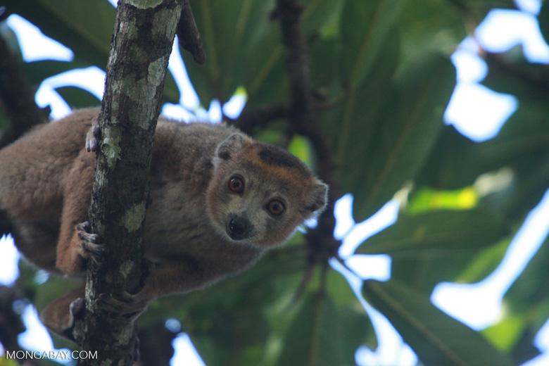 Male Crowned lemur (Eulemur coronatus) [madagascar_3359]