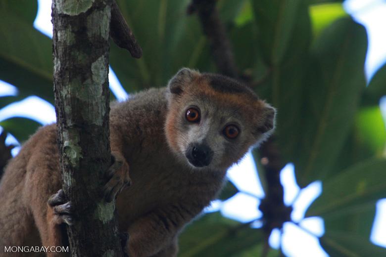Male Crowned lemur (Eulemur coronatus) [madagascar_3361]