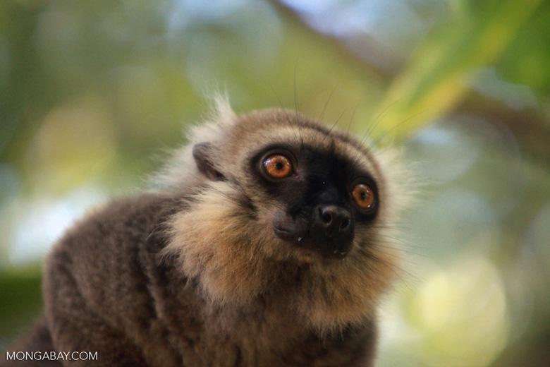 Sanford's Brown Lemur (Eulemur sanfordi) [madagascar_3377]