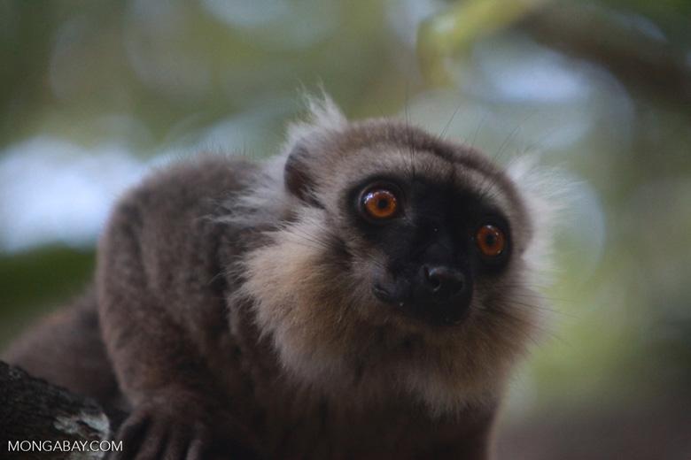 Sanford's Brown Lemur (Eulemur sanfordi) [madagascar_3383]