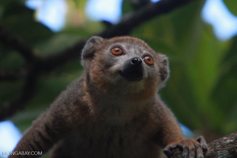 Crowned lemur (Eulemur coronatus) [madagascar_3386]