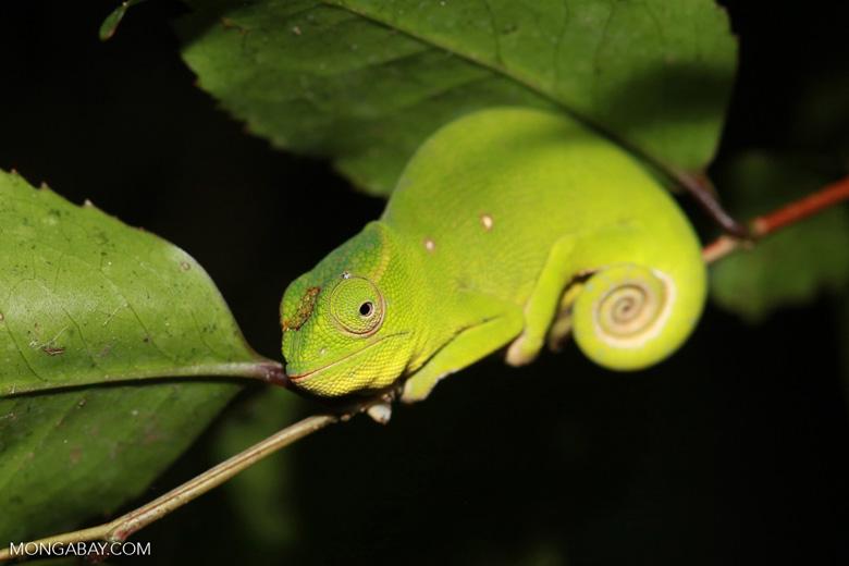 Petter's Chameleon (Furcifer petteri) [female] [madagascar_3425]