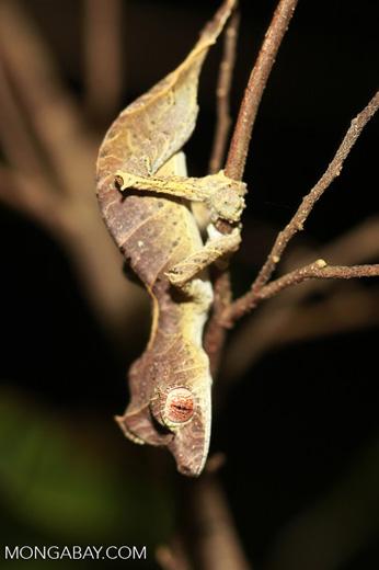 Spear-tail Leaf-tail Gecko (Uroplatus ebenaui) [madagascar_3456]