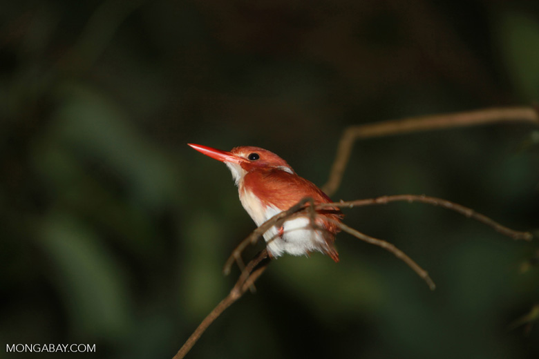 Madagascar Pygmy-kingfisher (Ceyx madagascariensis) [madagascar_3461]