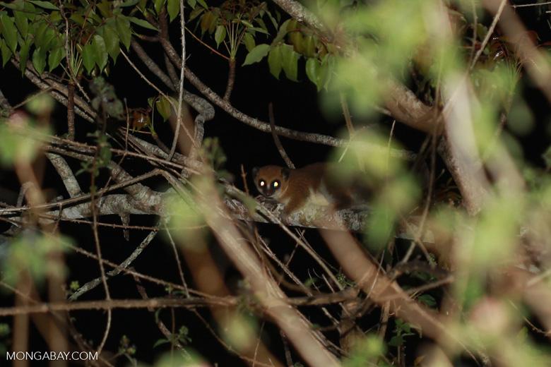 Fat-tailed Dwarf Lemur (Cheirogaleus medius) [madagascar_3464]