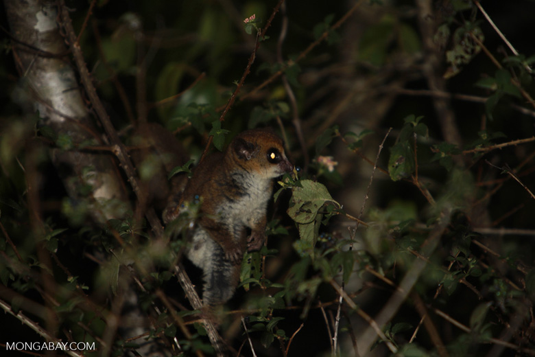 Fat-tailed Dwarf Lemur (Cheirogaleus medius) [madagascar_3467]