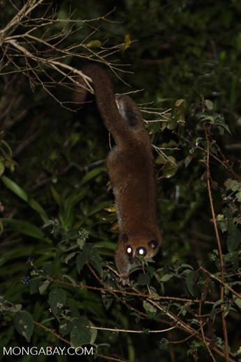 Fat-tailed Dwarf Lemur (Cheirogaleus medius) [madagascar_3491]