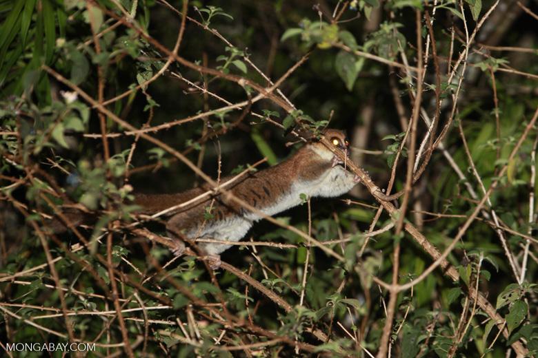 Fat-tailed Dwarf Lemur (Cheirogaleus medius) [madagascar_3492]
