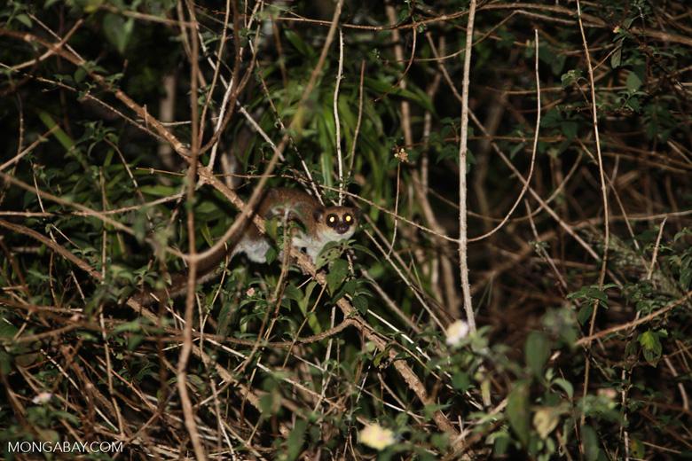 Fat-tailed Dwarf Lemur (Cheirogaleus medius) [madagascar_3493]