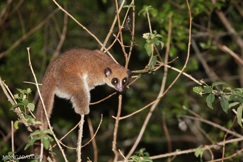 Fat-tailed Dwarf Lemur (Cheirogaleus medius) [madagascar_3497]