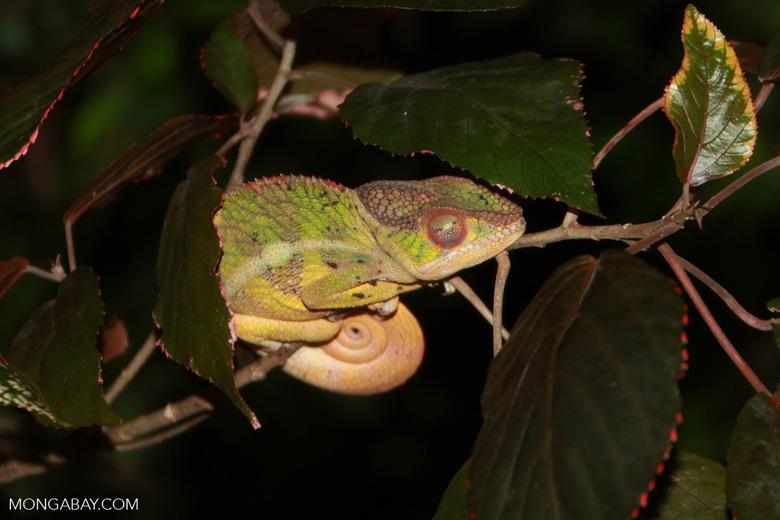 Panther chameleon (Furcifer pardalis) sleeping [madagascar_3506]