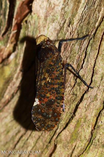 Lantern bug [madagascar_3527]