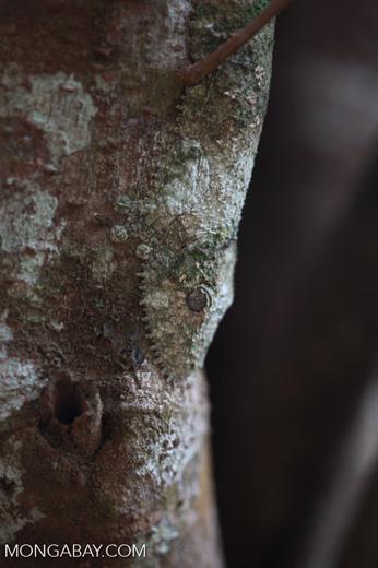 Mossy Leaftail Gecko (Uroplatus sikorae) [madagascar_3541]