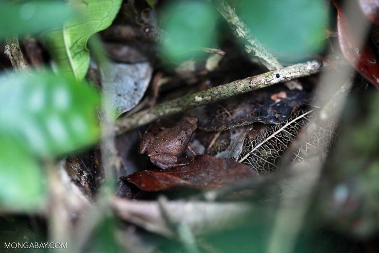 Frog [madagascar_3555]