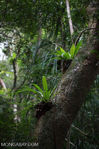 Birdnest fern in the rainforest canopy [madagascar_3576]