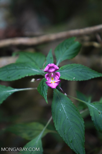 Purple Impatiens flower
