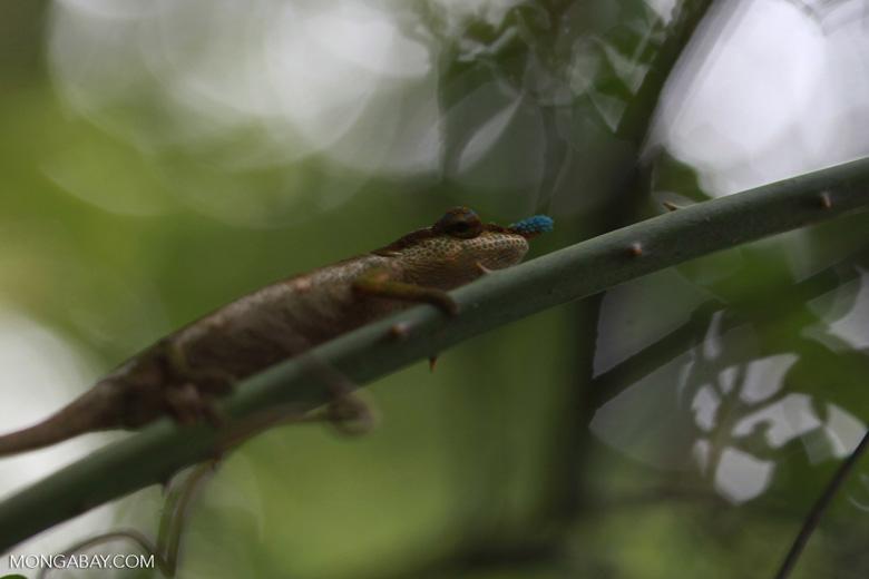 Blue-nosed Chameleon (Calumma boettgeri) [madagascar_3669]