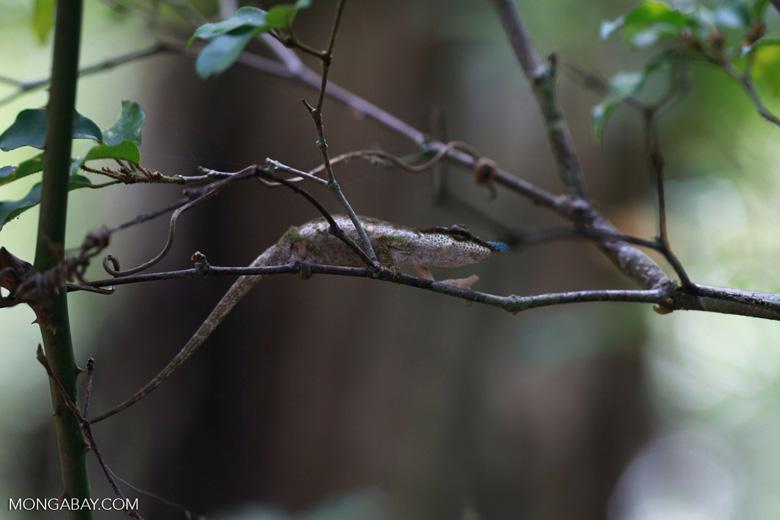 Blue-nosed Chameleon (Calumma boettgeri) [madagascar_3673]
