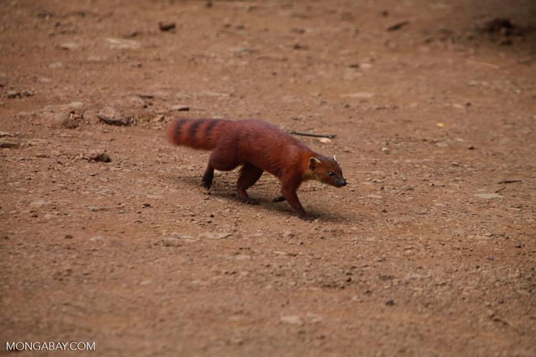 Ring-tailed mongoose (Galidia elegans) [madagascar_3704]