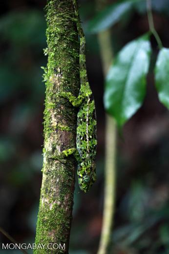 Amber Mountain chameleon (Calumma ambreense) [madagascar_3722]