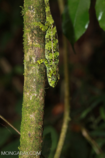 Amber Mountain chameleon (Calumma ambreense) [madagascar_3724]