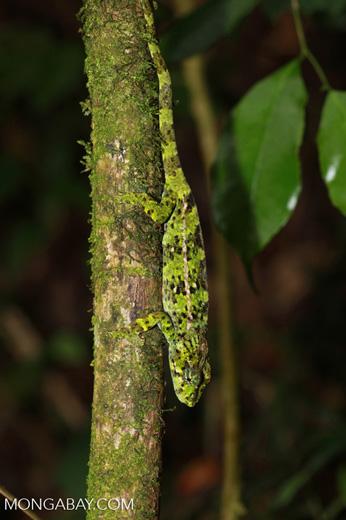 Amber Mountain chameleon (Calumma ambreense) [madagascar_3725]