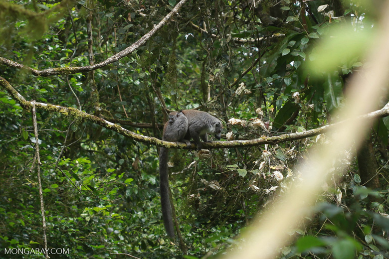 Crowned lemur with baby