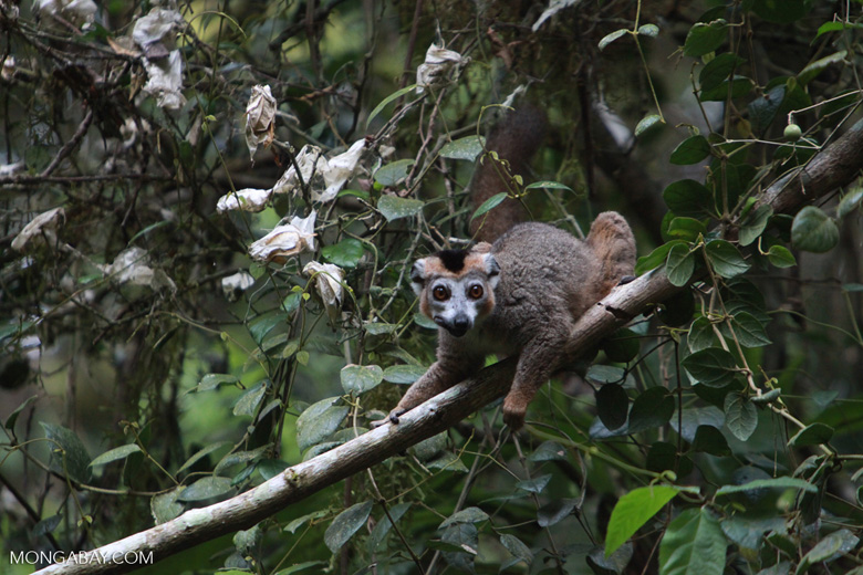 Crowned lemur [madagascar_3793]