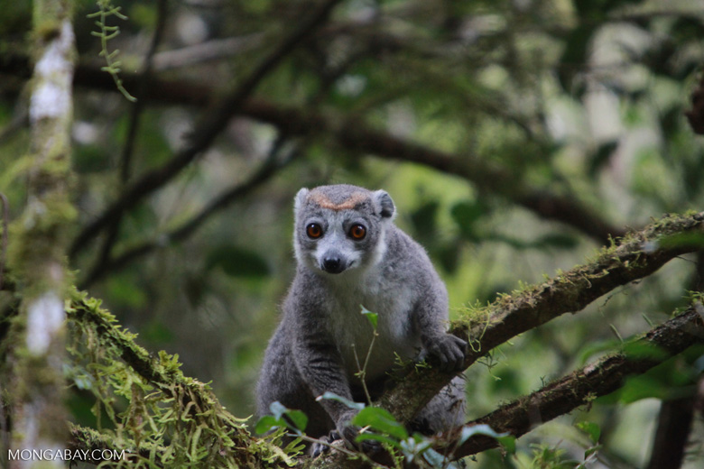 Female Crowned lemur (Eulemur coronatus) [madagascar_3798]