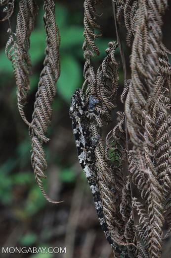 Camouflaged Amber Mountain chameleon (Calumma ambreense) [madagascar_3821]