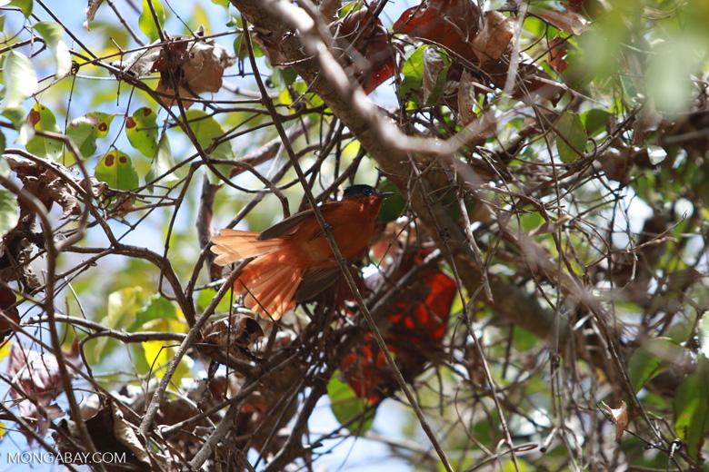 Madagascar Paradise Flycatcher (female) fanning her tail [madagascar_3859]