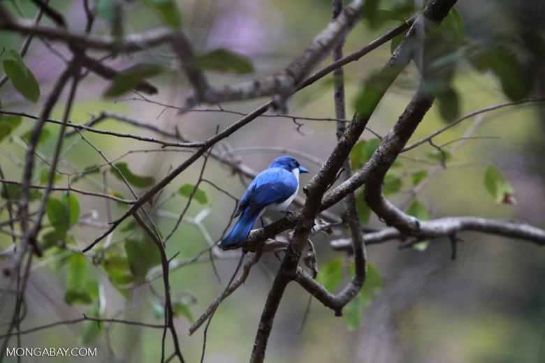 Blue Vanga (Cyanolanius madagascarinus) [male]