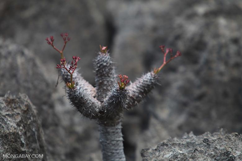Pachypodium [madagascar_3892]