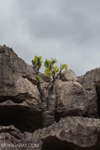 Plant [madagascar_3946]