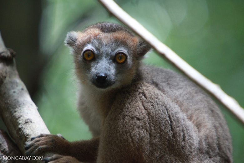 Female Crowned lemur (Eulemur coronatus) [madagascar_3991]