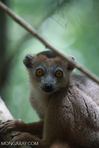 Female Crowned lemur (Eulemur coronatus) [madagascar_3996]