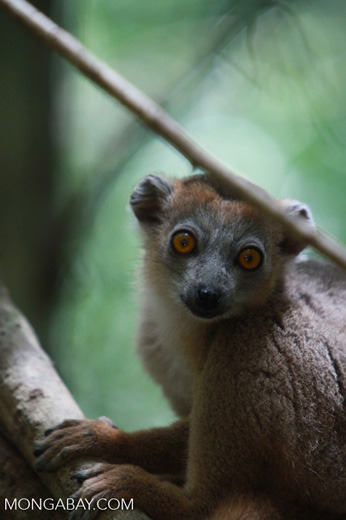 Female Crowned lemur (Eulemur coronatus) [madagascar_3998]