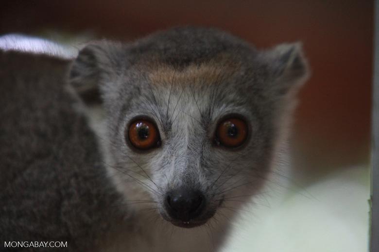 Female Crowned lemur (Eulemur coronatus) [madagascar_4022]