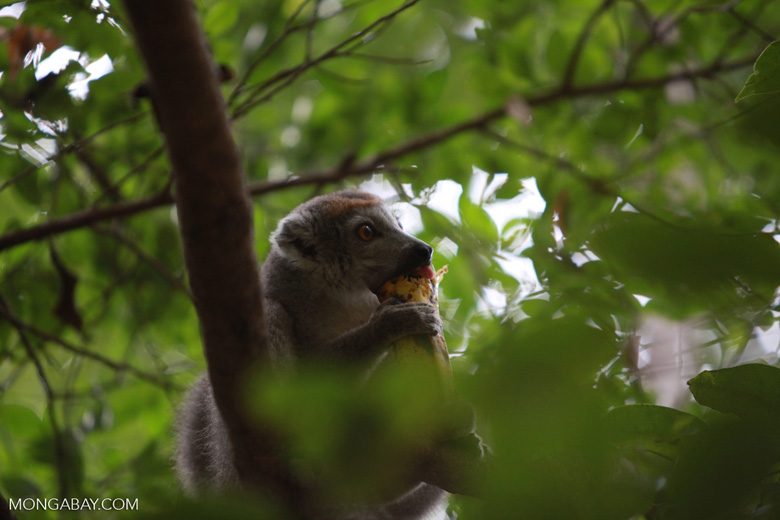 Female Crowned lemur (Eulemur coronatus) feeding [madagascar_4041]