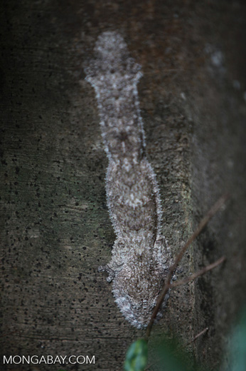 Frilled Leaf-tail Gecko (Uroplatus henkeli) [madagascar_4048]